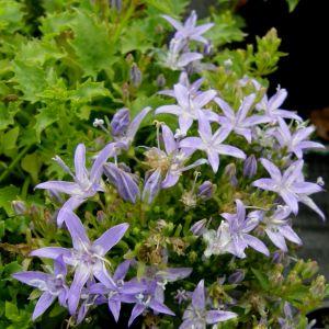 Sternpolsterglockenblume (Campanula garganica)