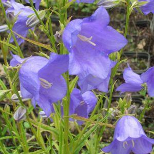 Pfirsichblättrige Glockenblume  (Campanula persicifolia grandiflora ) Blaue Glocke