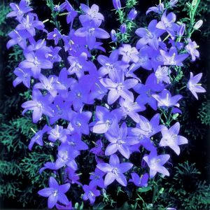 Pyramiden-Glockenblume (Campanula pyramidalis) Lavender Blue