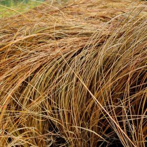 Braune Neuseeland-Segge (Carex comans) Bronco