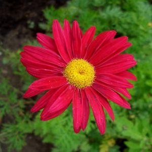Rote Strauchmargerite (Chrysanthemum coccineum) Robinson Rot