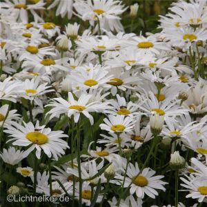 Sommermargerite (Chrysanthemum maximum ) Silberprinzessin