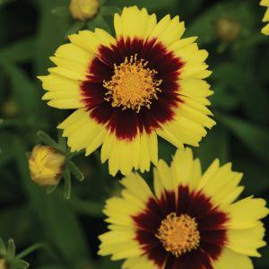 Mädchenauge (Coreopsis grandiflora) UpTick Yellow & Red