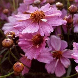 Mädchenauge (Coreopsis rosea) Pink Lady