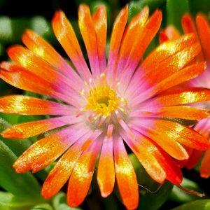 Mittagsblümchen (Delosperma cooperi) JEWEL OF DESERT Sunstone
