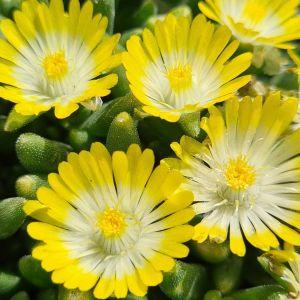 Mittagsblümchen (Delosperma cooperii) ICE CREAM Yellow