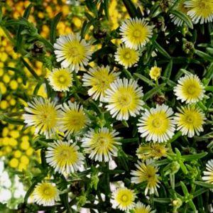 Mittagsblümchen (Delosperma) WHEELS OF WONDER Limoncello®