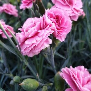 Duftende Federnelke (Dianthus pulmarius) DEVON COTTAGE Pink