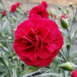 Duftende Landnelke (Dianthus caryophyllus) DEVON COTTAGE Dark Red