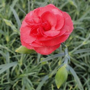 Duftende Landnelke (Dianthus caryophyllus) DEVON COTTAGE Soft Red