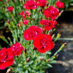 Zwerg-Nelke (Dianthus cultivar) Merci Fleuri