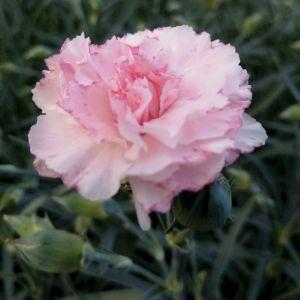 Duftende Gartennelke (Dianthus) DEVON COTTAGE Blush