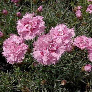 Federnelke (Dianthus plumarius) Double Rose
