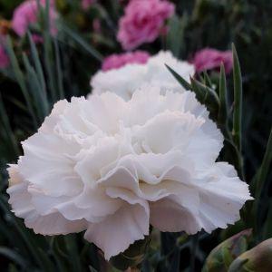 Duftende Federnelke (Dianthus pulmarius) DEVON COTTAGE Dove