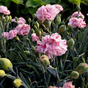 Duftende Federnelke (Dianthus pulmarius) DEVON COTTAGE Pinball Wizard
