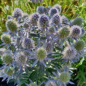 Edeldistel (Eryngium planum) Blue Hobbit