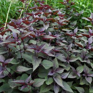 Weißer Gartendost (Eupatorium rugosum) Chocolate