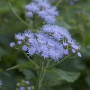 Blauer Wasserdost (Eupatorium coelestinum)