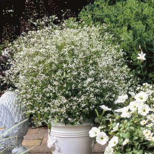 Zauberschnee (Euphorbia chamesyce) Diamond Frost