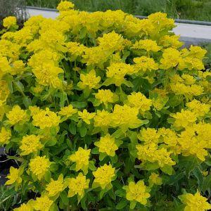 Gold-Wolfsmilch (Euphorbia polychroma)