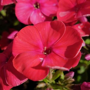 Flammenblume (Phlox paniculata) FLAME Red