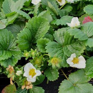 Geschmacks-Erdbeere (Frageria vesca) Senga Sengana