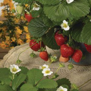 Balkon-Erdbeere (Fragaria x ananassa) Loran F1