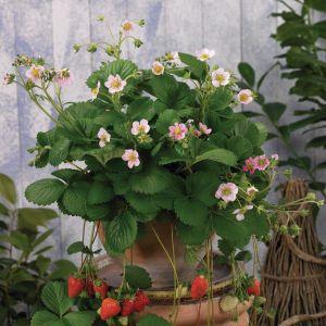 Auserlesene Erdbeere (Fragaria x ananassa) Roman