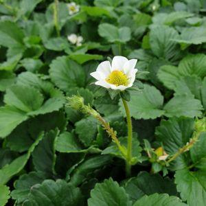 Spät-Erdbeere (Fragaria x ananassa) Mieze Schindler