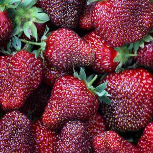 Gourmet-Erdbeere (Frageria vesca) HUMMI® Aroma Auslese