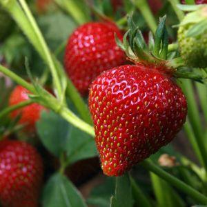 Immertragende Balkon-Erdbeere (Fragaria x ananassa) HUMMI® Meraldo