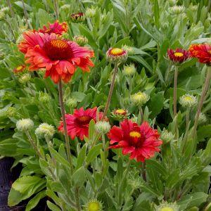 Rote Kokardenblume (Gaillardia aristata) Burgunder