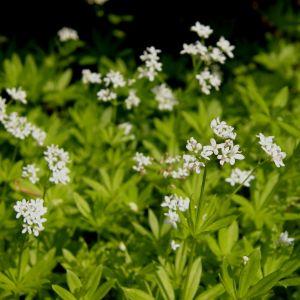 Waldmeister (Galium odoratum) Sterntaler