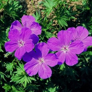 Blutroter Storchschnabel (Geranium sanguineum) Vision® Violet