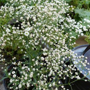Niedriges Schleierkraut (Gypsophila paniculata) FESTIVAL White Flare