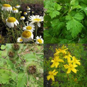7 Vierländer Pflanzen (Heilpflanzen / Kräuter) Mix