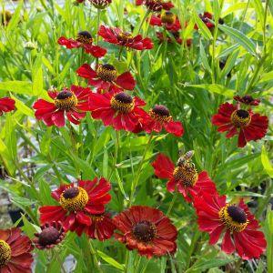 Sonnenbraut (Helenium autumnale)HELENA Red Shades