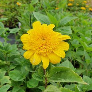 Stauden-Sonnenblume (Helianthus decapetalus) Double Whammy