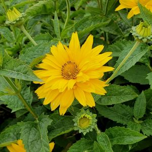 Sonnenauge (Heliopsis helianthoides) Sole d'Oro