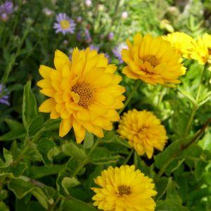 Sonnenauge (Heliopsis helianthoides var. scabra) Summer Sun