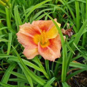 Remontierende Zwerg-Taglilie (Hemerocallis) EVERY DAYLILY Cerise