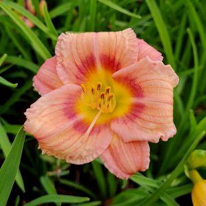 Remontierende Zwerg-Taglilie (Hemerocallis) EVERY DAYLILY Rose