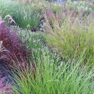7 Pflanzen (Gräser für den Herbstzauber) Mix