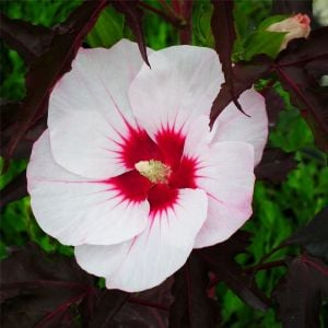 Riesen-Hibiskus (Hibiscus moscheutos) CAROUSEL Jolly Heart®