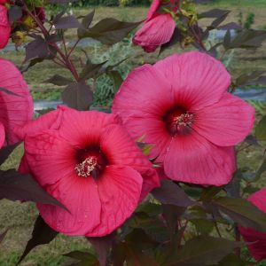 Riesen-Hibiskus (Hibiscus moscheutos) PLANET Griotte Tangri®