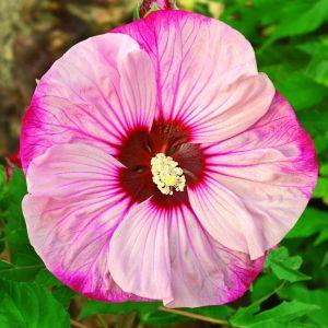 Riesen-Hibiskus (Hibiscus moscheutos) SUMMERIFIC Cherry Cheesecake®