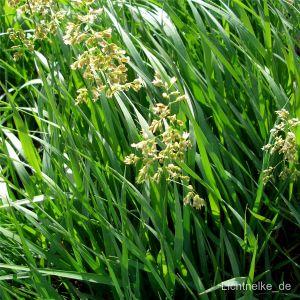 Duftendes Mariengras (Hierochloe odorata)