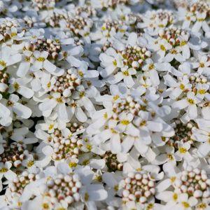 Immergrüne Schleifenblume (Iberis sempervirens ) Fischbeck