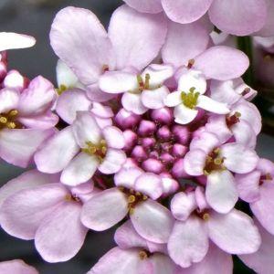 Rosa Schleifenblume (Iberis sempervirens) Pink Ice
