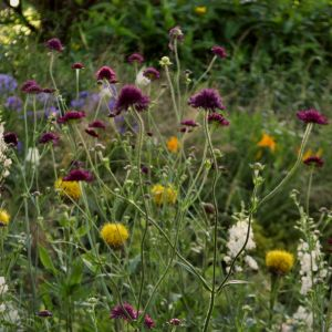 Mazedoniasche Witwenblume (Knautia macedonica)